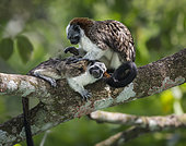 Geoffroy's Tamarin (Saguinus geoffroyi), adult grooming young, Gamboa, Panama, July