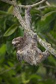 Brown-throated Three-toed Sloth (Bradypus variegatus), Panama
