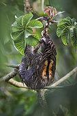 Brown-throated Three-toed Sloth (Bradypus variegatus), male feeding on cecropia tree leaves, Panama, October