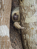 Hoffmann's Two-toed Sloth (Choloepus hoffmanni), Panama, March