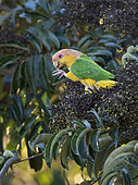 White-bellied Parrot (Pionites leucogaster), Mato Grosso, Brazil, June
