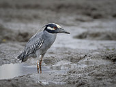 Yellow-crowned night heron (Nyctanassa violacea), Panama, June