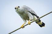 Gray-lined Hawk (Buteo nitidus), perched on roadside wire, Darien, Panama, December