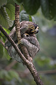 Brown-throated Three-toed Sloth (Bradypus variegatus), Gamboa, Panama