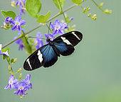 Heliconius sara butterfly, Panama, February