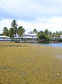 Stranding of Sargasses (Sargassum fluitans) and (Sargassum natans) on one of the most beautiful beach of Guadeloupe, The beach of the Lagoon on the commune of Saint François, impacting the restaurants and various shops of the site.
