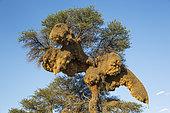 Enorme nid collectif de Républicains sociables (Philetairus socius) dans un Acacia (Acacia erioloba). Désert du Kalahari, Kgalagadi Transfrontier Park, Afrique du Sud.