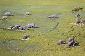Éléphant d'Afrique (Loxodonta africana), groupe familial, errant dans un marécage d'eau douce, vue aérienne, Delta de l'Okavango, Moremi Game Reserve, Botswana