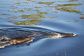 Hippopotame (Hippopotamus amphibius), deux adultes avec un jeune dans un marécage d'eau douce, vue aérienne, Delta de l'Okavango, Moremi Game Reserve, Botswana
