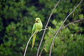 Rose-ringed Parakeet (Psittacula krameri) on a branch, Ile de France, France