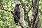 Crested Serpent-Eagle (Spilornis cheela) on a branch, Wilpattu Forest, Sri Lanka