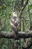Crested Hawk-Eagle (Spizaetus cirrhatus) Immature on a branch, Wilpattu Forest, Sri Lanka