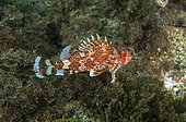 Madeira rockfish (Scorpaena maderensis), Azores, Portugal, Atlantic Ocean
