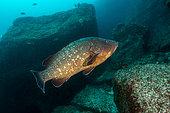 Dusky Grouper (Epinephelus marginatus), Azores, Portugal, Atlantic Ocean