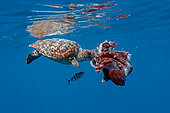 Loggerhead turtle (Caretta caretta) eating a seven-arm octopus (Haliphron atlanticus) under the surface, Azores, North Atlantic