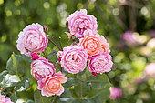 """Raspberry Rose Large Rose Flower """"Prix Pierre-Joseph Redouté"""", Summer, Pas de Calais, France,"""