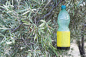 Olive fruit fly trap in olive grove, Alpilles, Provence, France