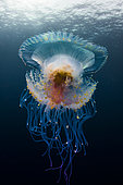 Low angle view Jellyfish (Cephea cephea) drifting in open water, Tahiti, French Polynesia