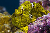 Front left view Commerson's Frogfish head (Antennarius commerson), Tahiti, French Polynesia