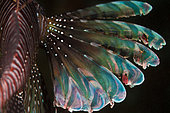 Above view Lionfish (Pterois volitans) pectoral fin by night, Tahiti, French Polynesia