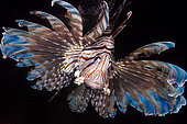 Front view Lionfish (Pterois volitans) by night, Tahiti, French Polynesia