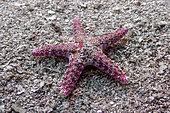 Above view Flat Starfish (Neoferdina cumingi) on sand, Tahiti, French Polynesia