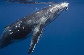 Rorqual à bosse (Megaptera novaeangliae) baleineau sous la surface, Tahiti, Polynésie Française