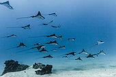 Spotted Eagle Rays (Aetobatus narinari), Tahiti, French Polynesia