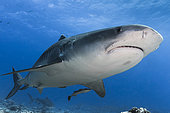 Close view Tiger Shark (Galeocerdo cuvier) with a second one in the background, Tahiti, French Polynesia