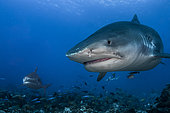 Front view of two Tiger Sharks (Galeocerdo cuvier), Tahiti, French Polynesia