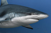 Close face view Grey shark (Carcharhinus amblyrhynchos), French Polynesia