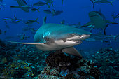 Lemon shark (Negaprion brevirostris) on the reef, Vallée Blanche, Tahiti, French Polynesia