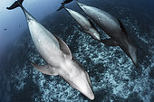 Wide view group of Common Bottlenose Dolphin (Tursiops truncatus) with young one, Rangiroa, French Polynesia