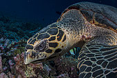 Close right side view head Hawksbill Sea Turtle (Eretmochelys imbricata)