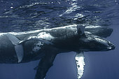 Close right side view young whale and Humpback whale (Megaptera novaeangliae) below surface, Tahiti, French Polynesia