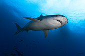 Downside view Tiger Shark (Galeocerdo cuvier), Tahiti, French Polynesia