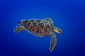 Up Right side view Green Turtle (Chelonia mydas) swimming, Tahiti, French Polynesia