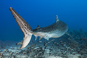 Back view Tiger Shark (Galeocerdo cuvier) swimming above the bottom, Tahiti, French Polynesia
