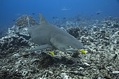 Right side view of a Sicklefin Lemon Shark (Negaprion acutidens) wth his pilotes Golden Jack (Gnathanodon speciosus), Tahiti, Polynésie