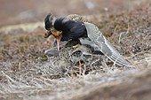 Ruff (Philomachus pugnax) mating in an arena, Varanger, Norway