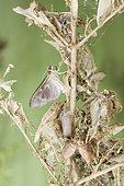 Box tree moth (Cydalima perspectalis). Emergence of a female of dark shape. Burgundy, France 71 on 17/08/2017