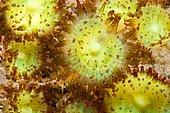 Jewel Anemone (Corynactis viridis), Around the Island of Oléron, Atlantic Ocean, France