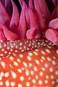 Strawberry anemone (Actinia fragacea) detail, Around the Island of Oléron, Atlantic Ocean, France