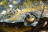 Green crab (Carcinus maenas) detail, Around the Island of Oléron, Atlantic Ocean, France