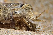 Common cuttlefish (Sepia officinalis) juvenile in defensive position, Around the Island of Oléron, Atlantic Ocean, France
