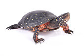 Spotted turtle (Clemmys guttata) on white background