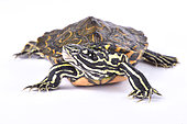 Ringed map turtle (Graptemys oculifera) on white background