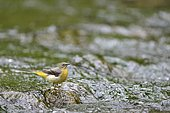 Grey Wagtail (Motacilla cinerea) female perched on a pebble in the creek stream, Lorraine, France