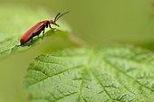 Red-headed Cardinal Beetle (Pyrochroa serraticornis) on a leaf, Lorraine, France