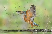 Kingfisher (Alcedo atthis) male in flight coming out of the water with its prey: a young roach caught in the river, Lorraine, France